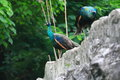Peafowl include two asiatic species the blue or indian originally of india and sri lanka and the green of burma Royalty Free Stock Photos