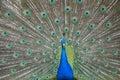 Peafowl peacock a captive head body shot Royalty Free Stock Photo
