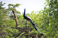 Peafowl rest on the tree Royalty Free Stock Photos