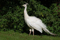 Peafowl white in the nature Royalty Free Stock Photo