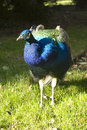 Peahen Stock Photo