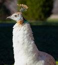 Peahen Stock Photography