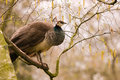 Peahen in a tree Stock Images