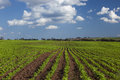Peanut field under a blue sky. Royalty Free Stock Photo