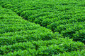Peanut fields green in china Royalty Free Stock Photos