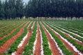 Peanut fields and poplar Royalty Free Stock Photo