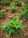 Peanut plant Royalty Free Stock Photo