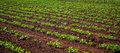 Peanut Plantation field plant Royalty Free Stock Photo