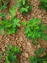 Peanut plants Royalty Free Stock Photo