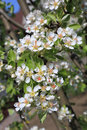 Pear blossom close up selective focus macro in sunlight Royalty Free Stock Images
