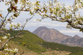 Pear blossom in mountain Stock Images