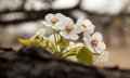 Pear flower in April Royalty Free Stock Photo