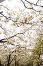Pear flowers suddenly such as spring night the trees of blossoms Royalty Free Stock Photo