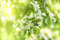 Pear flowers white of fresh green spring leaves Stock Images