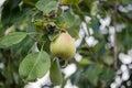 Pear Green Fruit Unripe On Tre...