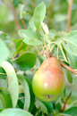 Pear hanging on the branch half ripe summer Royalty Free Stock Photo