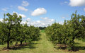 Pear orchard is full of trees laden heavy with fruit a bumper crop Royalty Free Stock Photos