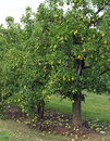 Pear orchard water droplets cling to a bumper crop of pears in trees heavy with fruit in the Stock Images
