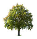 Pear tree Stock Image