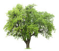 Pear Tree Royalty Free Stock Photo