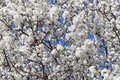 Pear tree in bloom full spring with plentiful white blossoms under a blue sky backdrop Royalty Free Stock Photography
