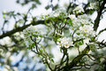 Pear tree in bloom Royalty Free Stock Photo