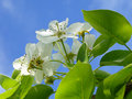 Pear tree blossom Royalty Free Stock Images