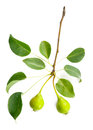 Pear tree branch with leaves and pears Royalty Free Stock Photo