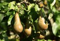 Pear tree in fruit Royalty Free Stock Photo