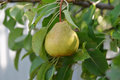 Pear on the tree fruit hanging with leaves Stock Images