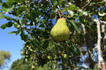 Pear on a tree fruit in the home garden Royalty Free Stock Photo
