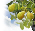 Pear tree with fruits close up Stock Images