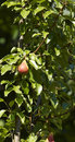 Pear on a tree in a garden in la spezia Stock Image