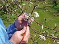 Pear tree pollination gardener making artificial by soft brush Royalty Free Stock Images