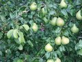 Summer day in the garden. Juicy pears ripen on the tree. Royalty Free Stock Photo