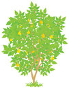 Pear tree with ripe fruits vector illustration on a white background Royalty Free Stock Images