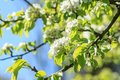Pear tree in spring season blossoming background Stock Photo