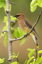 Pear Tree Waxwing Royalty Free Stock Images