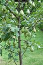 Pear tree young stock photo Stock Photography