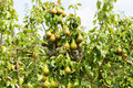 Pear trees laden with fruit in an orchard Royalty Free Stock Photo