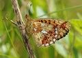 Pearl bordered fritillary butterfly clossiana euphrosyne underside Royalty Free Stock Image