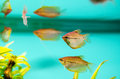 Pearl gourami group of trichopodus leerii in a tank Stock Photography