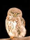 Pearl spotted owlet a close up view of a in an aviary Royalty Free Stock Images
