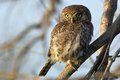 Pearl spotted owlet glaucidium perlatum in kruger national park south africa Royalty Free Stock Images