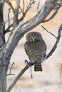 Pearl spotted owlet glaucidium perlatum perched with head turned degrees to face the observer kalahari desert south africa Stock Photo