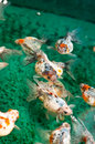 Pearlscale Goldfish Royalty Free Stock Images