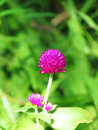 Pearly everlasting, Bachelor's button, Button agaga, Globe amaranth, Medicinal plants. Royalty Free Stock Photo