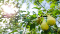 Pears on a branch with grean leafs leaves sunny day Stock Image