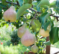 Pears on branch orchard Royalty Free Stock Photo