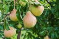 Pears on branch orchard Stock Image